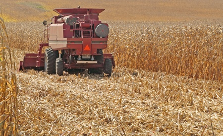 Red farm combine harvesting a field of golden corn Фото со стока