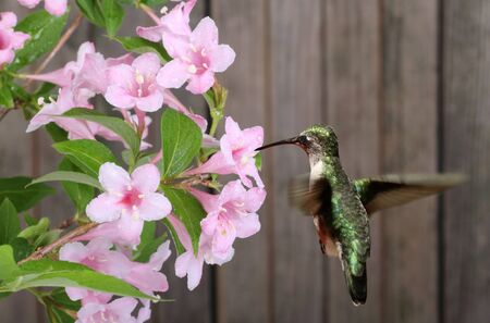 Female ruby-throated hummingbird, Archilochus colubris, feeding on honeysuckle flower, Lonicera sp.