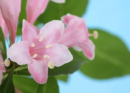 honeysuckle: Honeysuckle, Lonicera sp., flower with a blue background Stock Photo