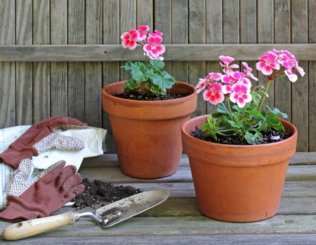 Planting geranium plants into clay flower pots