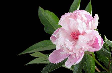 Peony flower, Paeonis sp., isolated on black