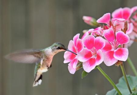 Female ruby-throated hummingbird, archilochus colubris, feeding on geranium flower Stock Photo