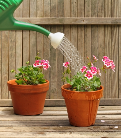 sprinkling: Watering can sprinkling a flowering geranium plant