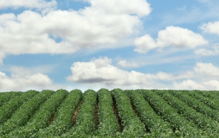 Rows of soybeans going up a hill with blue sky and clouds photo