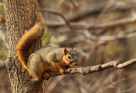 Eastern fox squirrel, Sciurus niger, on a tree branch Stock Photo - 17038205