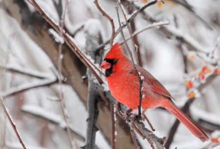 Northern cardinal, Cardinalis cardinalis, on a tree branch with snowy background Stock Photo - 17120284