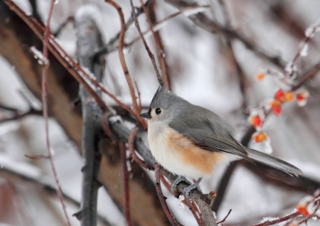 Tufted titmouse, Baeolophus bicolor, on a tree branch with snowy background Stock Photo - 17190546
