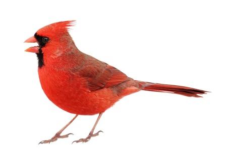 男性北部カーディナル cardinalis、くちばしを開く cardinalis は、白で隔離
