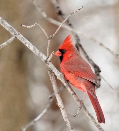 Male northern cardinal, cardinalis cardinalis, on a tree branch photo