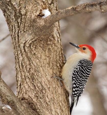 bellied: Red-bellied woodpecker, Melanerpes carolinus, on a tree Stock Photo