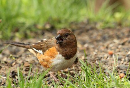 erythrophthalmus: Female eastern towhee, Pipilo erythrophthalmus, eating a seed