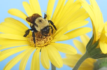 bombus: Common eastern bumble bee, Bombus impatiens, gathering nector on a gerbera daisy Stock Photo