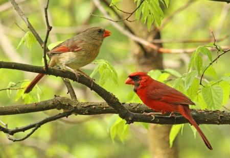 ¡rboles con pajaros: Hombres y Mujeres del Norte Cardenal, Cardinalis cardinalis, encaramado en una rama de árbol