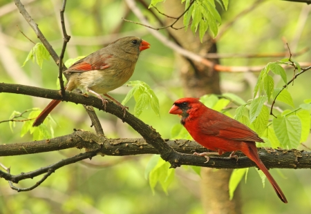 songbird: Male and female northern cardinal, Cardinalis cardinalis, perched on a tree branch
