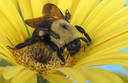 bombus: Common eastern bumble bee, Bombus impatiens, on a yellow daisy Stock Photo