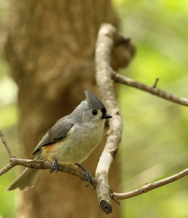 titmouse: Tufted titmouse, Baeolophus bicolor, perched on tree branch Stock Photo