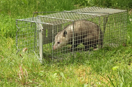animal trap: Virginia opossum, Didelphis virginiana, getting out of an animal trap