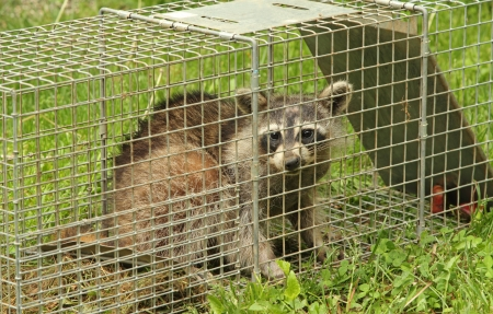 Raccoon, Procyon lotor, in an animal trap Stock Photo