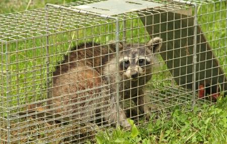 procyon: Raccoon, Procyon lotor, in an animal trap Stock Photo