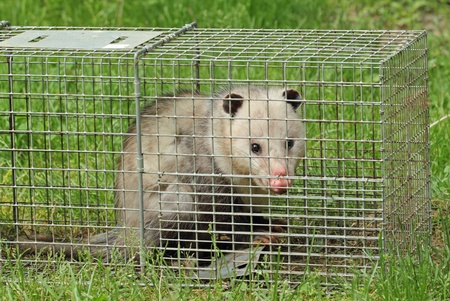 Virginia opossum, Didelphis virginiana, in an animal trap