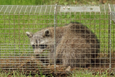animal trap: Raccoon, Procyon lotor, in an animal trap Stock Photo