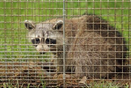 procyon: Closeup of a raccoon, Procyon lotor, in an animal trap