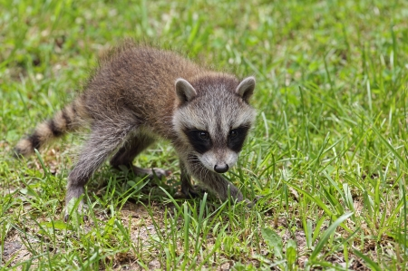 procyon: Young raccoon, Procyon lotor, walking in the grass