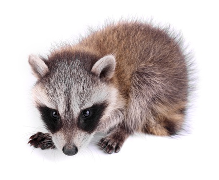 procyon: Young raccoon, Procyon lotor, on a white background