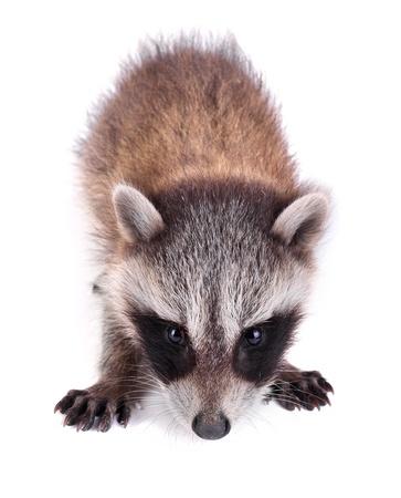 procyon: Baby raccoon, Procyon lotor Stock Photo