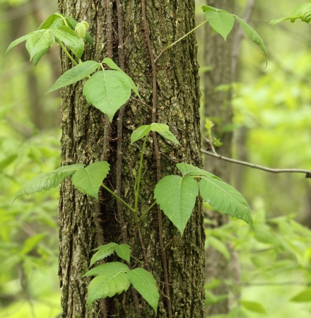 Poison ivy vine, toxicodendron radicans, growing up the side of a tree Imagens