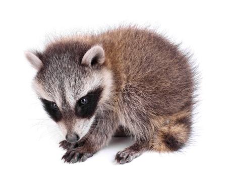 procyon: Young raccoon, Procyon lotor
