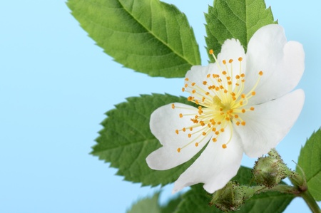 Multiflora rose, Rosa multiflora, flower on a blue background Stock Photo
