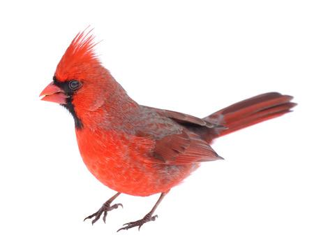 남성 북부 추기경, Cardinalis cardinalis, 화이트 절연 스톡 콘텐츠