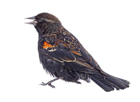 blackbird: Immature male red-winged blackbird, agelaius phoeniceus, isolated on white