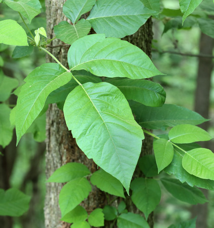 Poison ivy, Toxicodendron radicans, vine growing on a tree Banco de Imagens