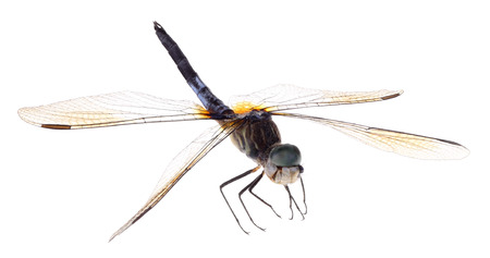 Blue dasher dragonfly, Pachydipolax longipennis, isolated on white