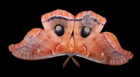 Polyphemus moth, Antheraea polyphemus, isolated on black Banco de Imagens