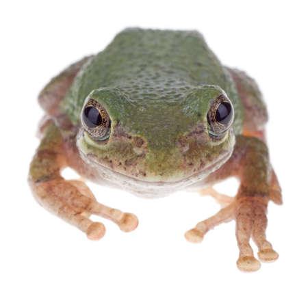 cinerea: Green treefrog, Hyla cinerea, isolated on white Stock Photo
