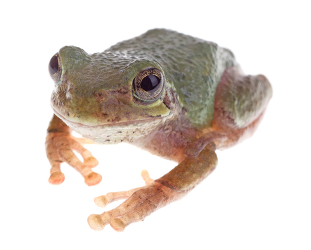 cinerea: Green treefrog, Hyla cinerea, isolated on white Stock Photo