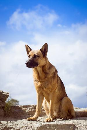 watchman: Guard dog - German shepherd guarding the ruins of the fortress of Koporye Stock Photo