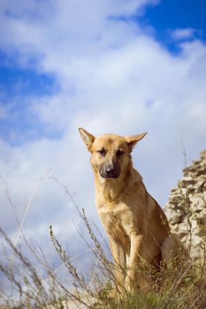 guard dog: Guard dog - German shepherd guarding the ruins of the fortress of Koporye Stock Photo