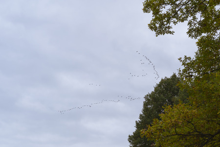 migratory: VYBORG, RUSSIA - OCTOBER 4, 2015: A flock of migratory birds in the sky above the autumn Monrepos Mon Repos landscape park at Vyborg, Russia Editorial
