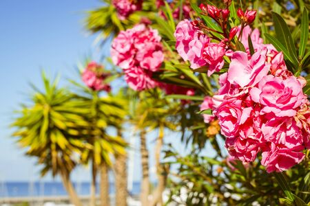 beaches of spain: TENERIFE, SPAIN - JANUARY 14, 2013: Bright pink flowers on a background of palm trees on the beach Costa Adeje, Tenerife, Canary Islands, Spain Stock Photo