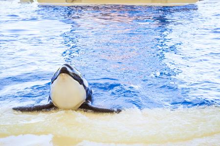 santa cruz de tenerife: TENERIFE, SPAIN - JANUARY 15, 2013: Water show with killer whales in the pool, Loro parque, Puerto de la Cruz, Santa Cruz de Tenerife, Canary Islands, Spain