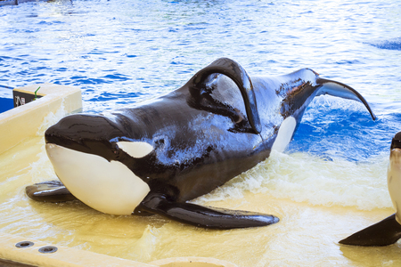TENERIFE, SPAIN - JANUARY 15, 2013: Water show with killer whales in the pool, Loro parque, Puerto de la Cruz, Santa Cruz de Tenerife, Canary Islands, Spain