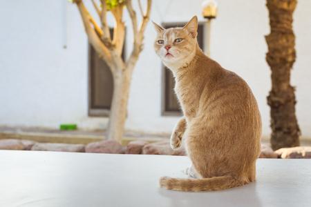 el sheikh: Red cat sitting on the stone curb, hotel beach Albatros resort, Sharm El Sheikh, Egypt