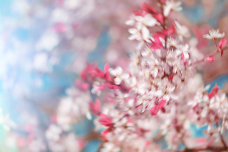 flowers bokeh: Abstract pink spring background with cherry sakura blooms in soft background of flowering branches and sky, early spring white flowers bokeh