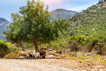 mountainous: Herd of mountain sheep grazing under the tall green tree on a background of mountainous landscape. Resort village Bali, Rethymno, Crete, Greece Stock Photo