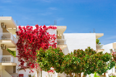rethymno: White wall covered with curly branches with bright Bougainvillea flowers. In the foreground a giant green ficus. Resort village Bali, Rethymno, Crete, Greece