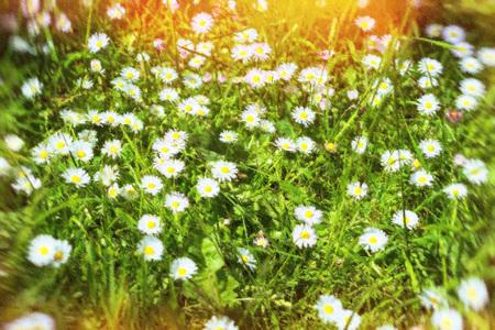 in the open air: Daisies in a field in the Museum Estonian open air, Vabaohumuuseumi kivikulv, Rocca al Mare, Tallinn, Estonia. Photo stylized illustration